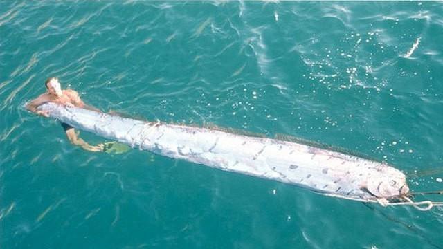 Giant oarfish - Hlistoun Cervenohrivy
