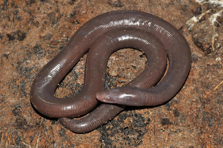 Ichthyophis Cardamomensis - Kambodža