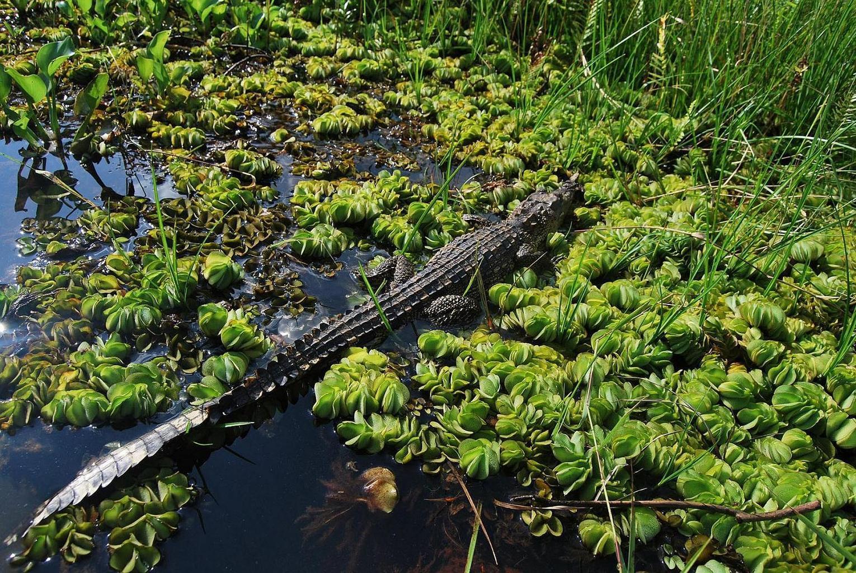 Krokodýl siamský - Kambodža