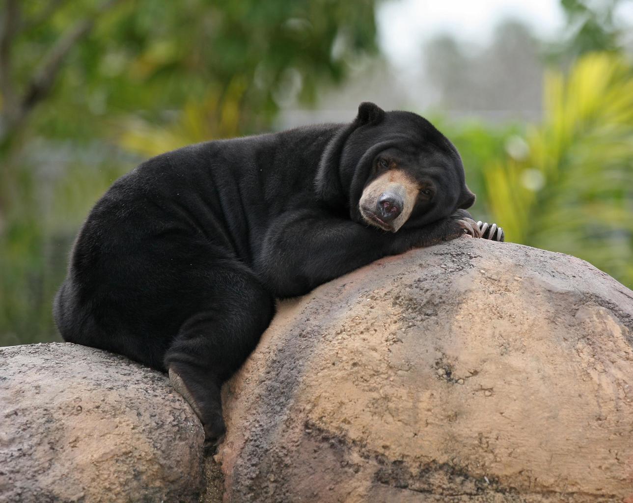 Medvěd Malajský - Kambodža
