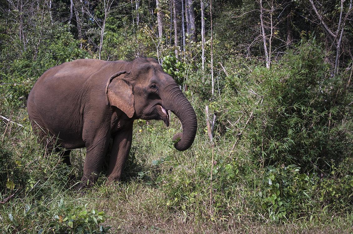 Slon indický - Kambodža