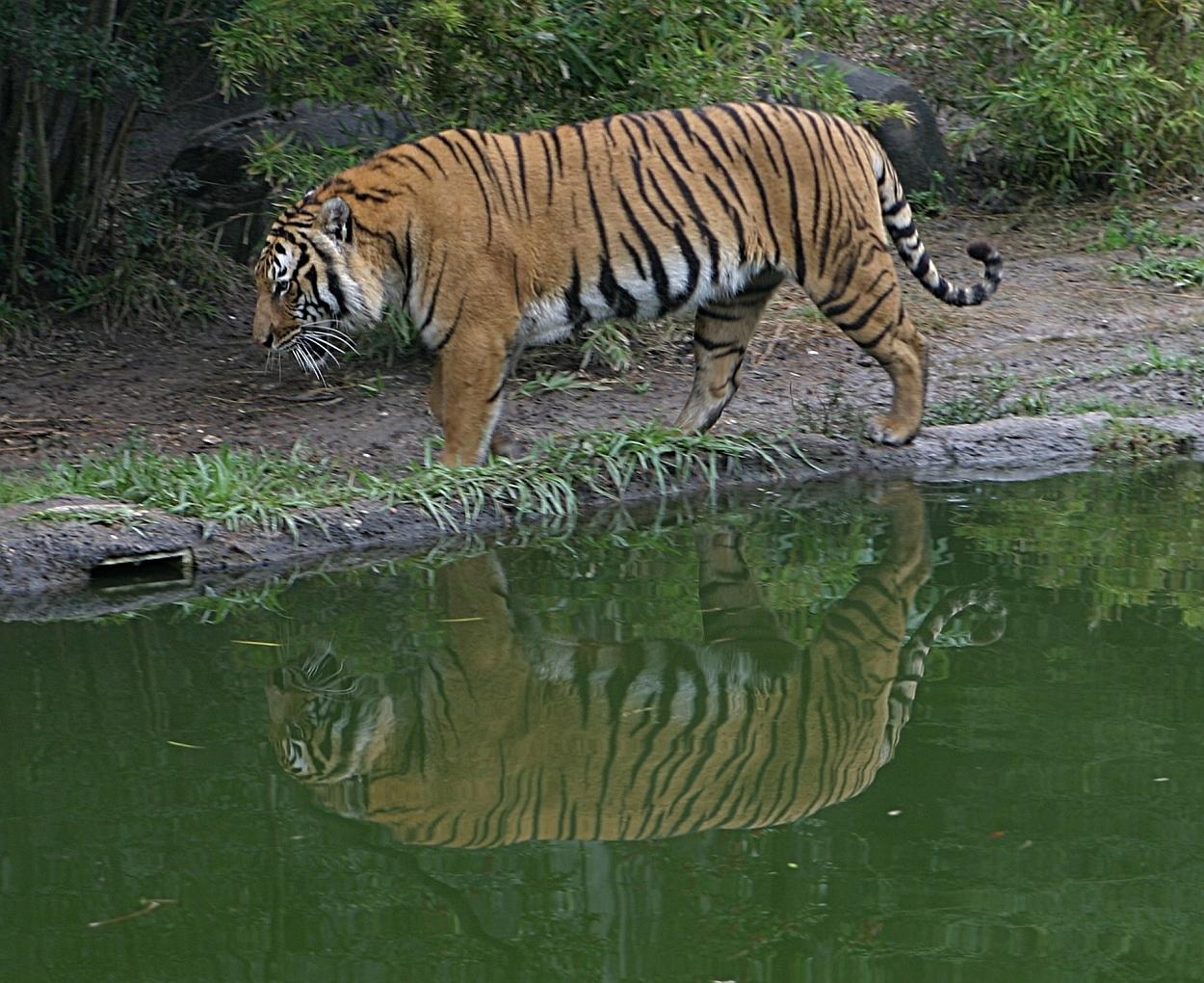 Tygr indočínský - kambodža