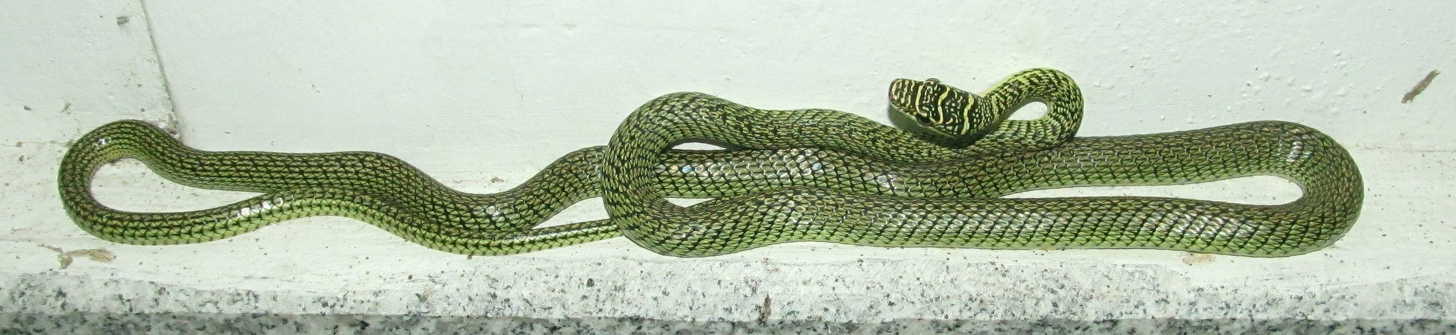 Sakon Nakhon 2012 tenhle zelenáč přerušil moji meditaci