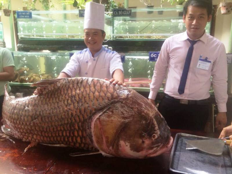 130 Kg, 150 cm, uloven v Mekongu