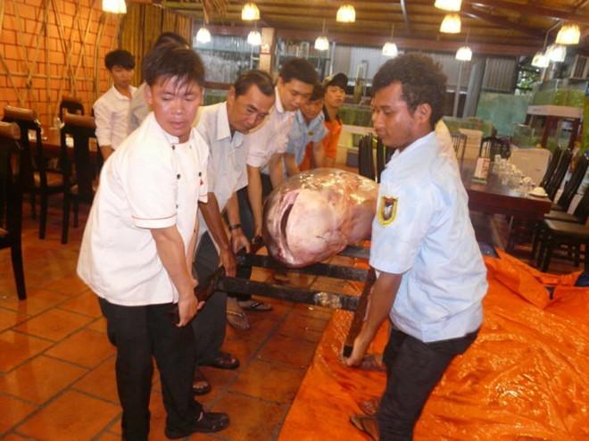 Obří Sumec z Tonle Sap - Kambodža