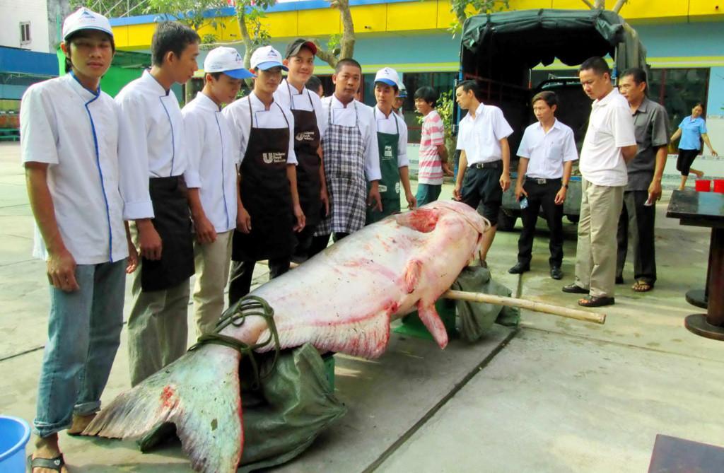 Pangas Velký - 247 Kg uloven v Kambodži