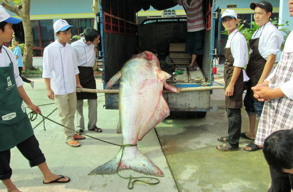 Pangas Velký - 247 Kg uloven v Tonle Sap v Kambodži