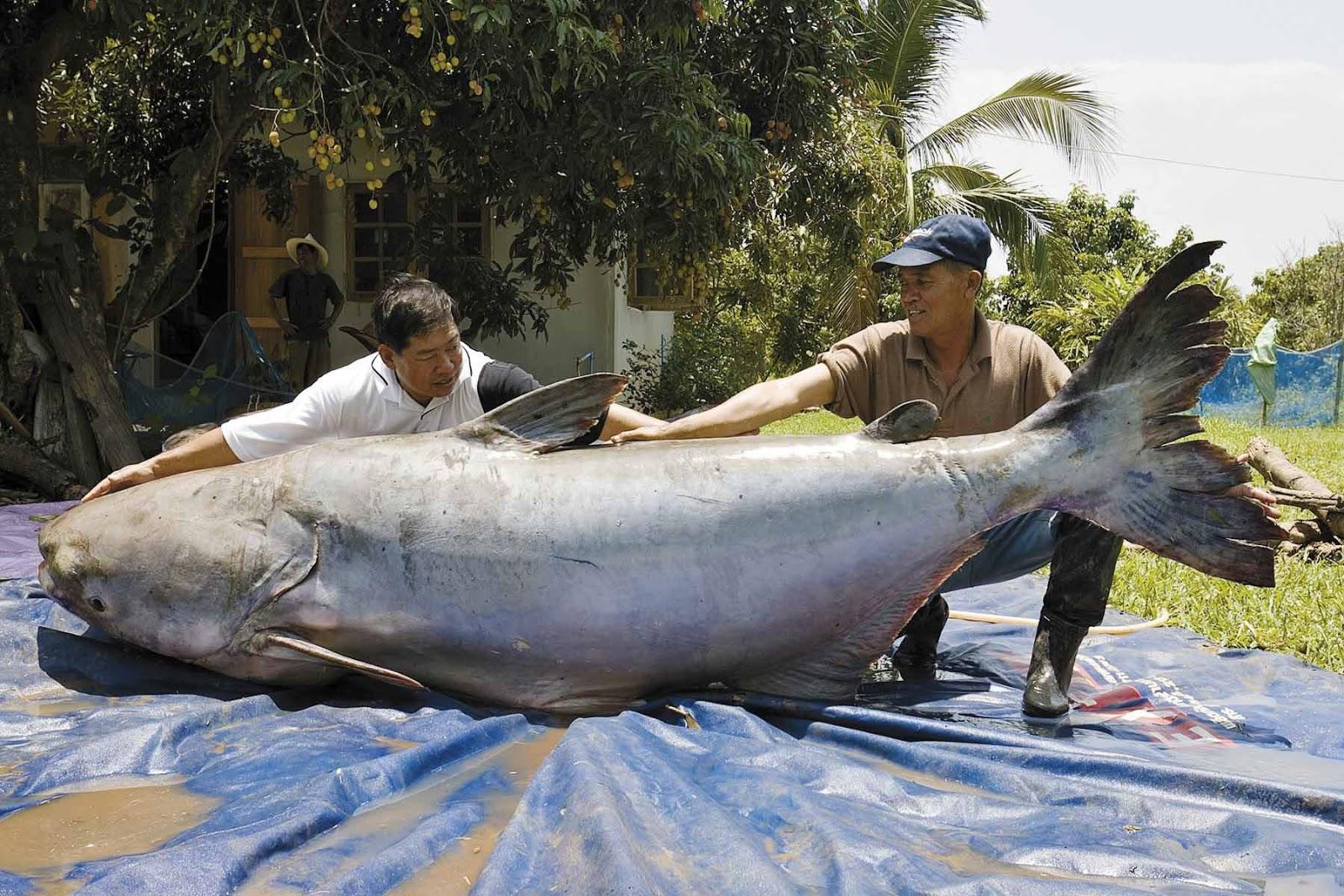 Rekordní úlovek z roku 2005 váha 293 kg, délka 270 cm Thajsko