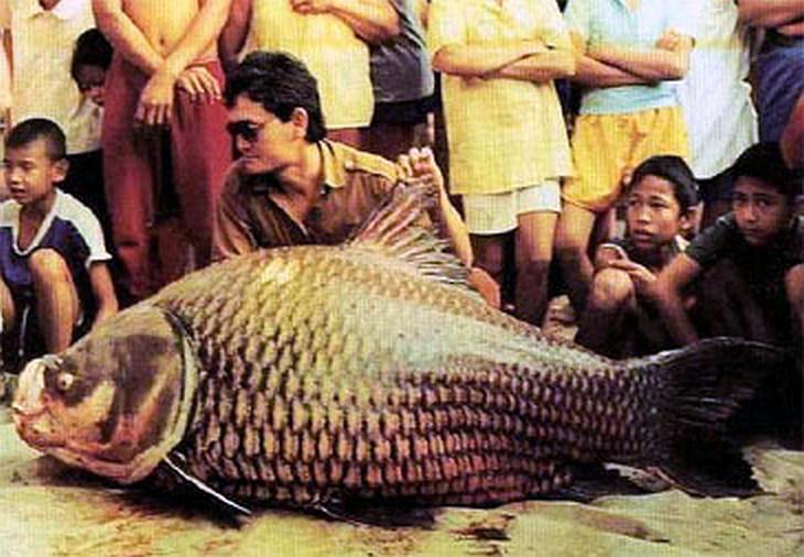 Rekordní kapr 124 kg Thajsko