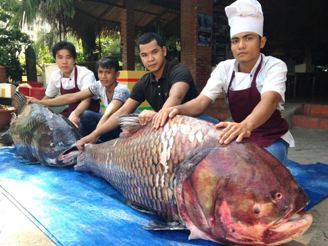 Siamští kapři - 130 Kg a 110 Kg, uloveni v Mekongu