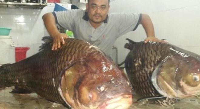 Siamští kapři - 130 a 122 Kg, uloveni v Mekongu v Laosu