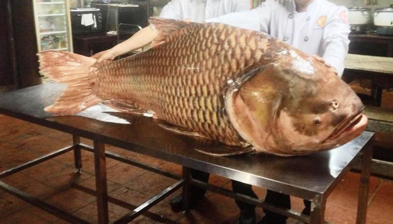 Siamský Kapr, 130 Kg, 150 cm, uloven v Mekongu