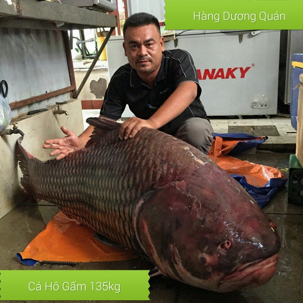 Siamský kapr - 135 Kg, 180 cm, uloven v Kambodži
