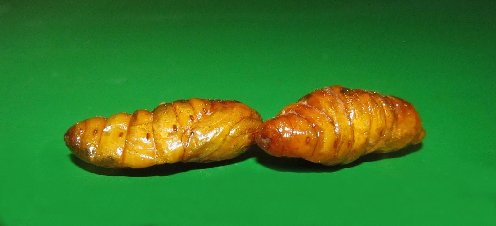Zlaté larvy Bource morušového Kambodža