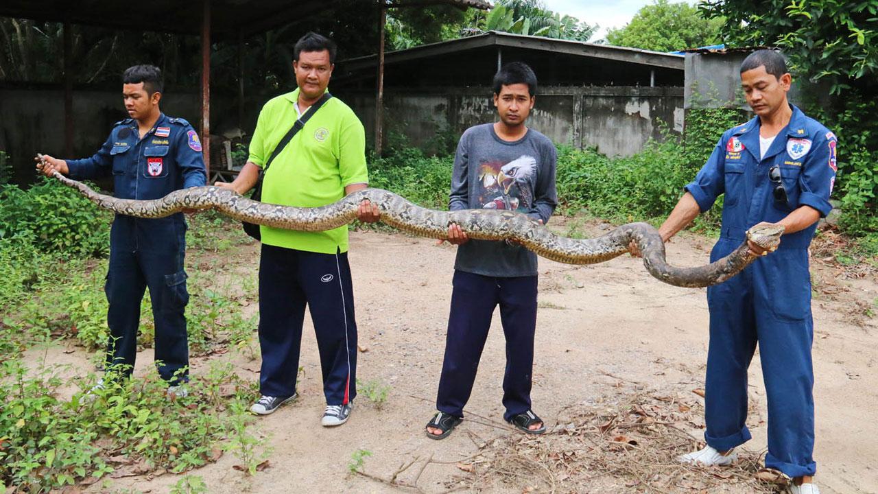 Krajta v Thajsku